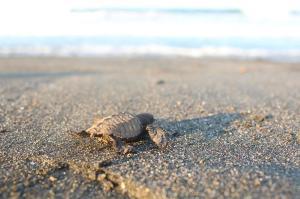 baby-schildpad-op-weg-naar-zee